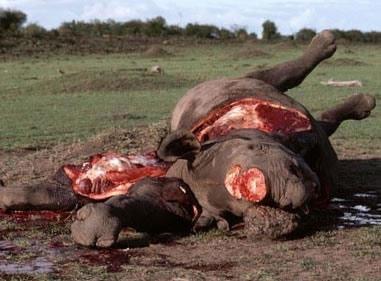 rhino-poaching-7