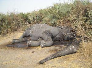 elephant.poached.568