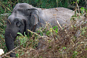 goodrich asian elephant 11