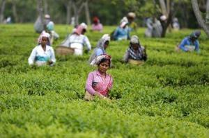 Tea garden workers pluck tea leaves inside Aideobarie Tea Estate in Jorhat